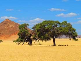 Landschaft in Südafrika, gelbe felder mit grünem Baum, braunem, spitzen berg und blauen Himmel.