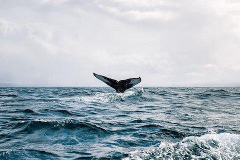 Walsafari entlang der Küste - Wanderreise Nordnorwegen
